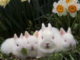 Netherland Dwarf Rabbits Photographic Print by Lynn M. Stone