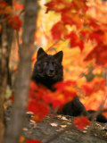 Black Timber Wolf Behind Autumn Foliage Fotografisk trykk av Don Grall