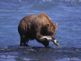 Grizzly Bear with Salmon in Mouth, Alaska Photographic Print by Lynn M. Stone