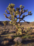 Joshua Tree, Joshua Tree National Park, CA Photographic Print by David Carriere