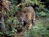 Jaguar Walking Through the Forest, Belize Photographie par Lynn M. Stone