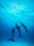 Atlantic Spotted Dolphins Underwater Fotografisk trykk av Stuart Westmorland