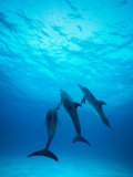 Atlantic Spotted Dolphins Underwater Photographic Print by Stuart Westmorland