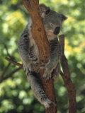 Koala Sleeping in a Tree, Australia Fotografisk tryk af Inga Spence