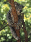 Koala Sleeping in a Tree, Australia Photographic Print by Inga Spence
