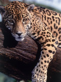 Jaguar lying on a tree limb, Belize, Photographic Print
