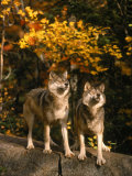 Two Alert Timber Wolves Standing on a Rock Photographic Print by Don Grall