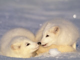 Arctic Fox Pups Photographic Print by Lynn M. Stone