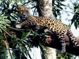 Jaguar Lying on a Tree Limb, Belize Photographic Print by Lynn M. Stone