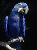 Hyacinth Macaw (Anodorhynchus Hyacinthus) Lámina fotográfica por Lynn M. Stone