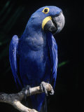 Hyacinth Macaw (Anodorhynchus Hyacinthus) Photographic Print by Lynn M. Stone