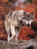 Timber Wolf Fotografisk trykk av Don Grall