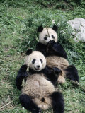 Giant Panda Bears Lying in the Grass, China Photographic Print by Lynn M. Stone