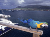 Parrot with Basseterre Bay in Background, St. Kitts Photographic Print by Jeff Greenberg