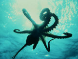 Octopus Parachuting Down on Top of its Prey Photographic Print by Jeffrey Rotman