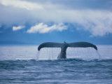 Humpback Whale Tail Reprodukcja zdjęcia autor Stuart Westmorland