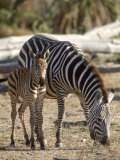 Zebra and Foal, Serengeti National Park, Tanzania Photographic Print by Elizabeth DeLaney