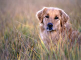 Golden Retriever in Field, Summit County, CO Photographic Print by Bob Winsett