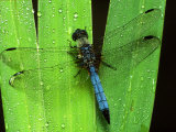 Dragonfly on a Leaf Photographic Print by Harold Wilion