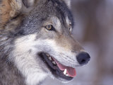 Close-up of a Wolf, Canis Lupus Fotografiskt tryck av D. Robert Franz