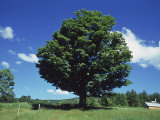 A Sugar Maple Tree in the Summer, Vermont, Photographic Print