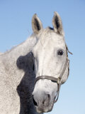 Close-up of Lipizzan, Wadsworth, IL Photographic Print by Lynn M. Stone
