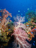 Soft Coral, Truck Lagoon, Micronesia Photographic Print by Steve Essig