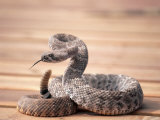 Prairie rattlesnake (crotalus viridis viridis) Lmina fotogrfica por Amy And Chuck Wiley/wales