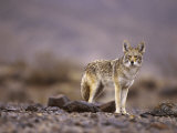 Coyote, Canis Latrans Photographic Print by Roger Holden
