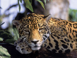 Jaguar in Natural Habitat, Belize Photographic Print by Lynn M. Stone