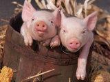 Mixed-Breed Piglets in a Barrel Fotodruck von Lynn M. Stone