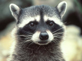 Close-up of a Raccoon Fotografisk trykk av Jim Oltersdorf
