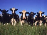 Holstein-malkekøer, Wisconsingæt Fotografisk tryk af Mark Gibson
