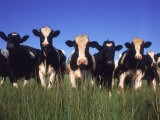 Holstein Dairy Cows, WI Photographic Print by Mark Gibson
