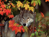 Gray Wolf Peeking Through Leaves Fotografisk trykk av Lynn M. Stone