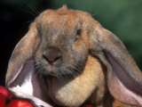 English Lop Rabbit Photographic Print by Lynn M. Stone