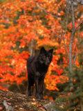 Black Timber Wolf in Autumn Forest Fotografisk trykk av Don Grall