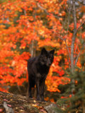 Black Timber Wolf in Autumn Forest Fotografiskt tryck av Don Grall