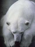 Polar Bear Lying Down Fotografisk trykk av Stuart Westmorland