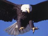 Pygargue à tête blanche en vol Photographie par Lynn M. Stone