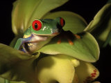 Tree Frog from Costa Rica, Agalychnis Callidryas, Photographic Print