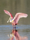 Roseate Spoonbill, Ding Darling Nwr, FL Photographic Print by Stan Osolinski