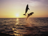Bottlenose Dolphins in Mid-Air Photographic Print by Stuart Westmorland
