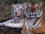 White Bengal Tigers Fotografisk tryk af Lynn M. Stone