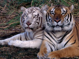 White Bengal Tigers Photographic Print by Lynn M. Stone