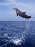 Bottlenose Dolphin Jumping Photographic Print by Stuart Westmorland