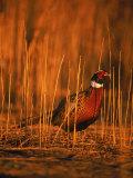 Ringneck Pheasant Photographie par D. Robert Franz
