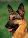 German Shepherd Photographic Print by Francie Manning