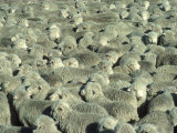 Herd of Sheep Fotoprint van Mitch Diamond
