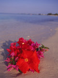 Hibiscus and Bouganvilla on Beach, Cayman Islands Photographic Print by Anne Flinn Powell